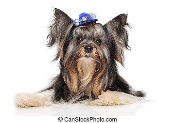 Yorkshire terrier biewer york - Biewer Yorkshire terrier...
