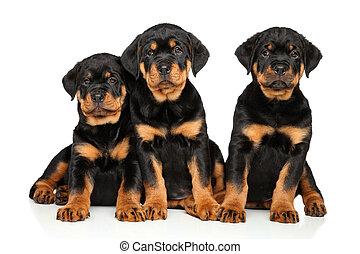 かわいい, 白,  Rottweiler, 子犬