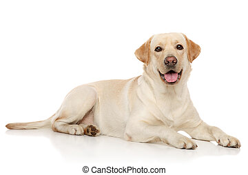 Young Labrador retriever