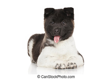 Akita puppy on white background