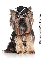 Yorkshire Terrier in carnival pirate hat on white background