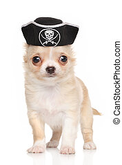 Chihuahua puppy in pirate hat - Funny Chihuahua puppy in...