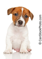 Jack Russell Terrier puppy.
