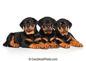 Rottweiler dog puppies on white - Rottweiler dog puppies...
