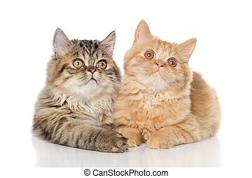 Persian kittens lying on a white background