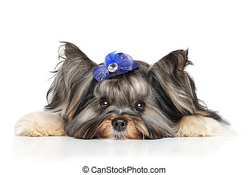 Biewer Yorkshire terrier resting on white background