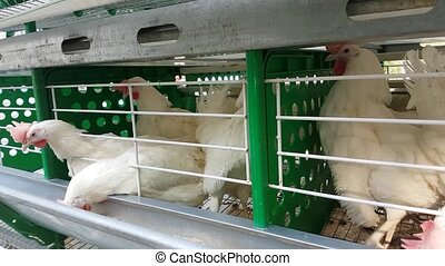 Chickens white breed in cages with a trough in poultry house...