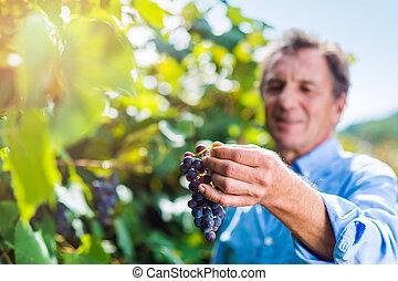 Senior man in blue shirt harvesting grapes in garden -...