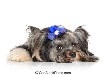 Biewer Yorkshire terrier in front of white background -...