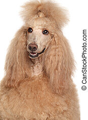 Apricot Poodle dog Close-up portrait on isolated white...