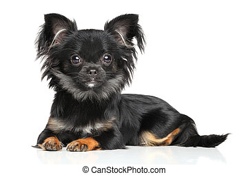 Long-Haired Chihuahua puppy lying on white background
