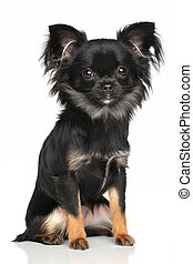 Long-Haired Chihuahua dog sits in front of white background