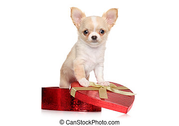 Chihuahua puppy sits in red heart gift box on white...