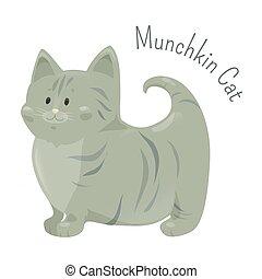 Munchkin cat isolated. Very short legs type
