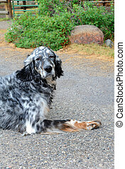 Dog Thoughts - Adorable, black and white spotted, dog sits...