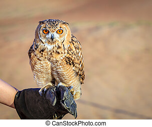 Desert Eagle Owl - Portrait of Desert Eagle Owl on a...