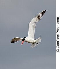 Caspian tern Hydroprogne caspia - Caspian tern in flight...