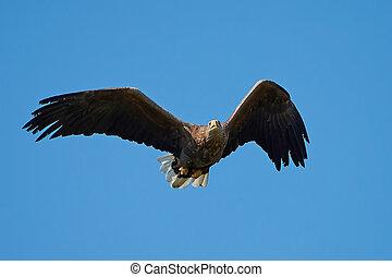 White-tailed eagle (Haliaeetus albicilla) - White-tailed...