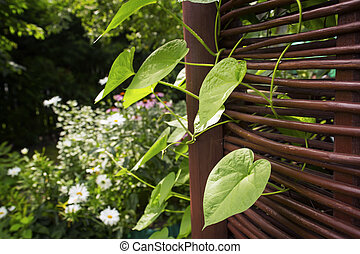 Ipomea leaves curling through arbor rods in a garden