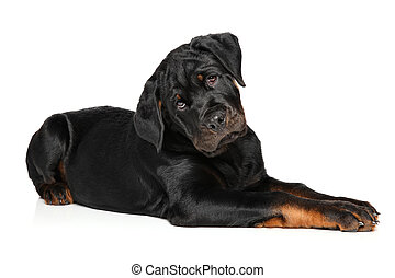 Rottweiler puppy on white background
