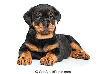 Rottweiler puppy lies down on white - Rottweiler puppy lies...