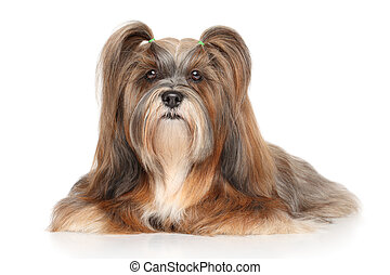 Lhasa apso portrait - Lhasa Apso lying in front of white...