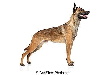Belgian Shepherd dog Malinois - Belgian shepherd dog...