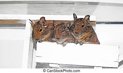 Australian home pet Degu. - Small and funny Australian home...