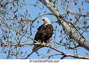 Perching Bald Eagle Vocalizing - Bright spring vista on a...