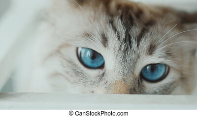 close up of white cat with big blue eyes Slow-motion - close...