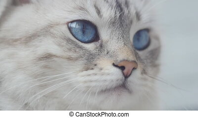portrait of cute cat with big blue eyes Slow-motion - close...