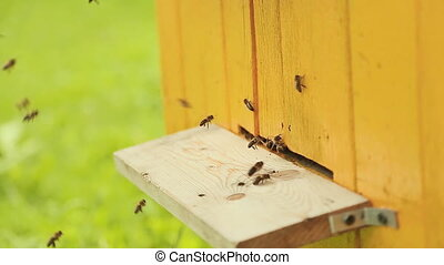 Bees fly in and fly out of beehive. - Bees fly in and fly...