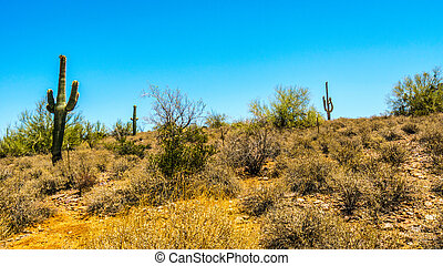 Dry desert and Saguaro Cacti in Tonto National Forest in...