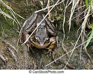 Cascades Frog - Rana cascadae