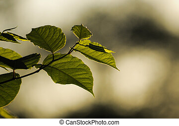 Back-lit Branch - A branch of green leaves are back-lit by...