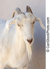 Goat Close-up - Puerto Madryn - Argentina - Goat Close-up in...