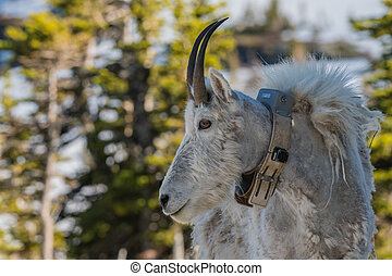 Adult Mountain Goat Wearing Research Collar turned to the...