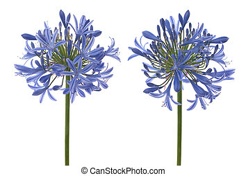 Agapanthus blooms with umbrella like flower clusters of...