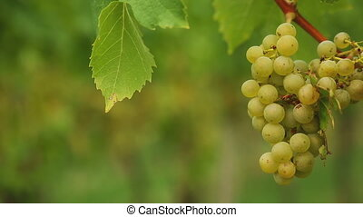 White grapes at vineyard - White grape bunch on the...
