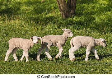 three little lambs grazing - closeup of three little lambs...