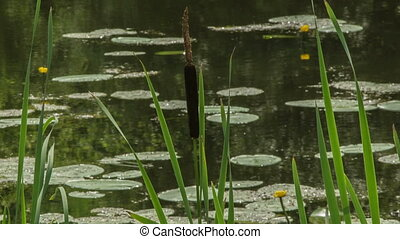 Swamp - reeds and water lilies growing in the swamp