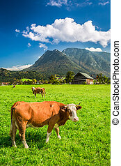 Grazed cows on pasture in the Alps