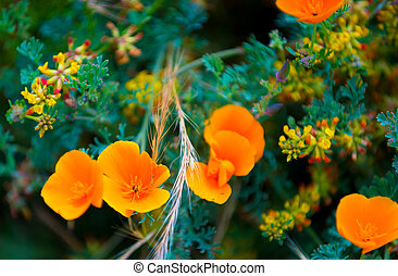 California Poppy Flowers - California Poppy flowers...