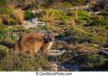 Hoo Roo - Kangaroo on Kangaroo Island, South Australia