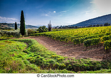 Green field with grapes in Tuscany