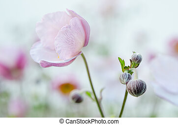 Pale pink flower Japanese anemone