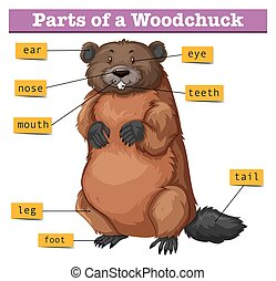 Diagram showing parts of woodchuck illustration