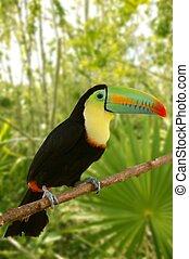 巨嘴鳥, kee, billed, Tamphastos, sulfuratus, 叢林