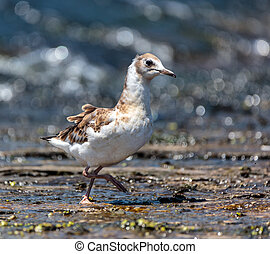 Juvenile seagull on water - Juvenile seagull on a lake...
