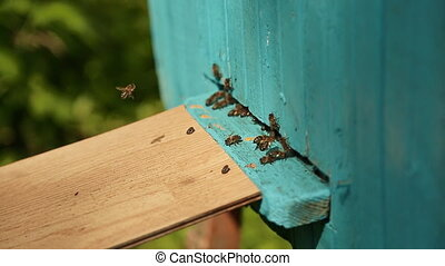 Bees fly in and fly out of blue beehive.